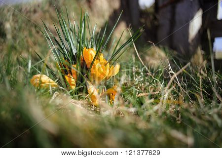 Yellow Crocuses In The Meadow