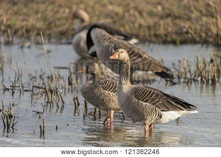 Beautiful greylag goose Anser Anser in wetlands landscape poster