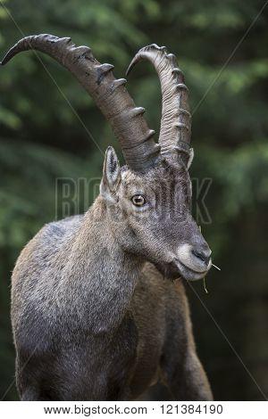 Portrait Of An Alpine Ibex Steinbock