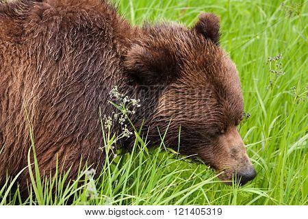 Grazing Grizzly bear (Ursus arctos horribilis)