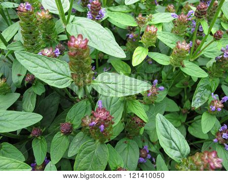 Common self-heal, Prunella vulgaris, with flowers in herb garden poster