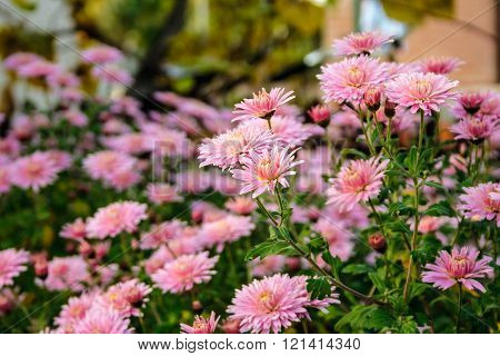 New England aster flowers in the garden oat sunrise