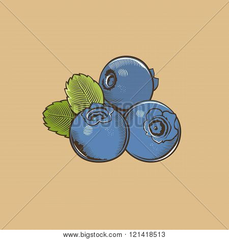 Bilberry in vintage style. Colored vector illustration