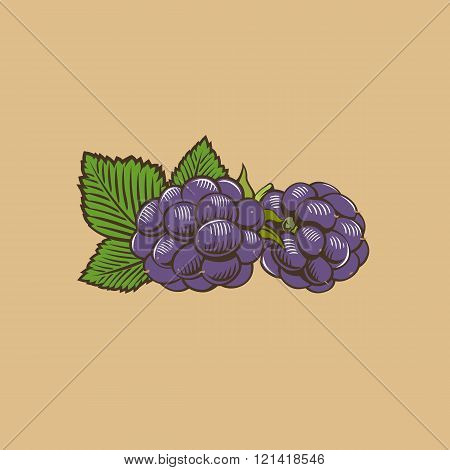 Blackberry in vintage style. Colored vector illustration