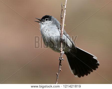 Black-tailed Gnatcatcher Calling