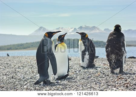 four king pinguins near sea