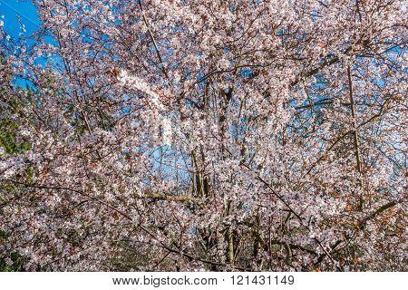 Spring White Cherry Blossoms 5