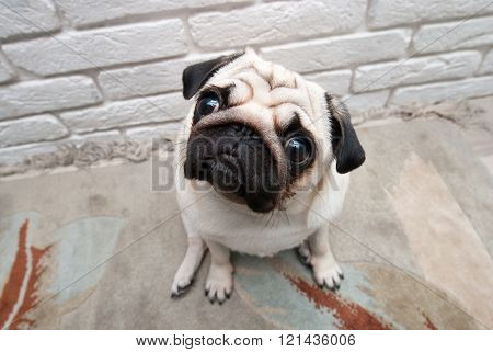 Pug sitting on the carpet. Interested pug poster