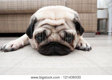 Sad pug near the sofa. Sad sight