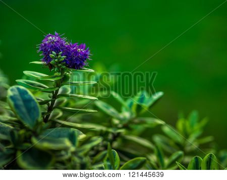 Violet hebe flower blossoming in the spring