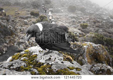 White-necked Raven On The Rocks