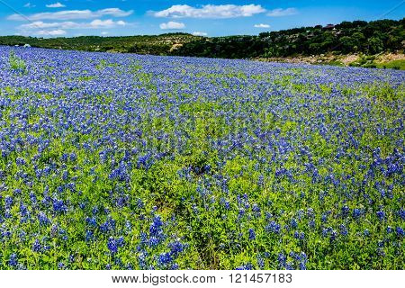 A Wide Angle View of a Beautiful Field or Meadow Blanketed with the Famous Texas Bluebonnet (Lupinus texensis) Wildflowers. An Amazing Display at Muleshoe Bend in Texas.