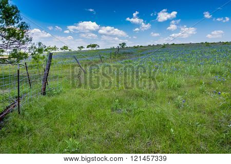 Texas Field Covered With The Famous Texas Bluebonnets
