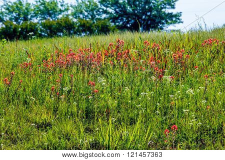 A Beautiful Field Full of Bright Orange Indian Paintbrush (or Prairie Fire) and a Variety of Other Oklahoma Wildflowers.  Castilleja foliolosa. White Philadelphia Fleabane.