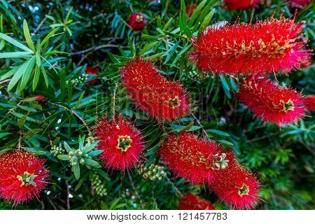 Bright Red Blossoms On A Bottlebrush Tree  In Texas.