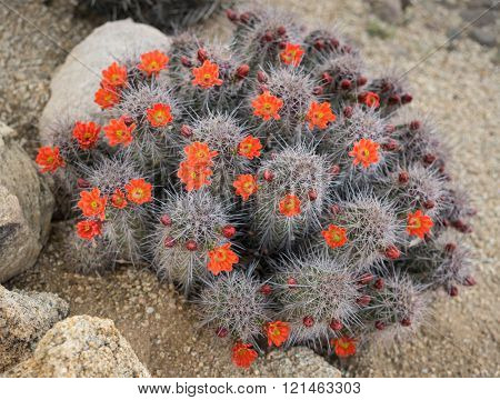 Blooming Cactus flowers spring desert in Scottsdale, Arizona,use