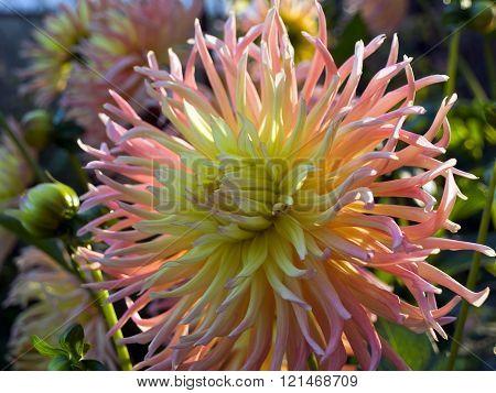 Blossom aster close-up