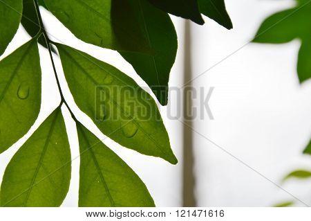 drop of water on orange Jessamine leaf
