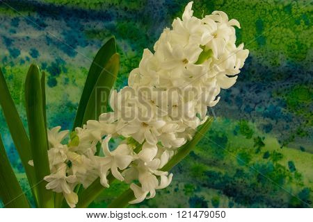 Hyacinth Flowers On The Bright Background.