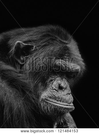 Lonely old chimp showing despair in captivity