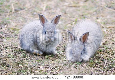 Angora Rabbits On  Straw