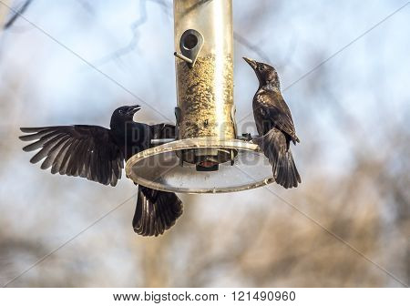 great-tailed grackle or Mexican grackle Quiscalus mexicanus is a medium-sized gregarious passerine bird
