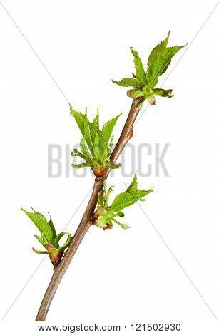 Cherry-tree Budding Brunch
