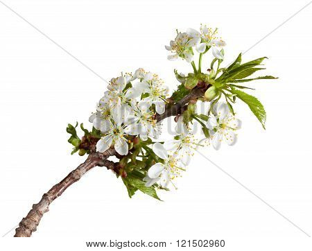 Blooming Twig At Spring
