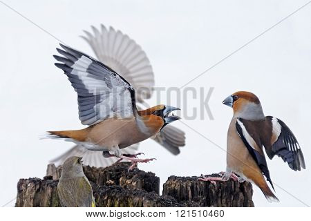Hawfinches Battle