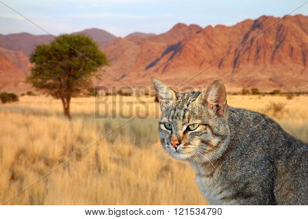 Portrait of an African wild cat (Felis silvestris lybica), South Africa