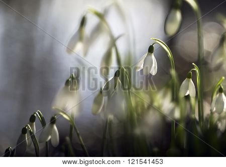 Beautiful White Snowdrops