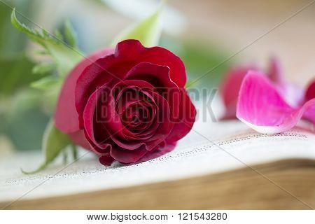 Red Rose - Love