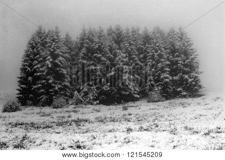 Fir Mountain Submerged By Fog And Snow