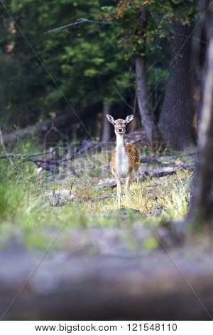Beautiful Portrait Of A Deer In The Woods Looking Directly Into The Camera