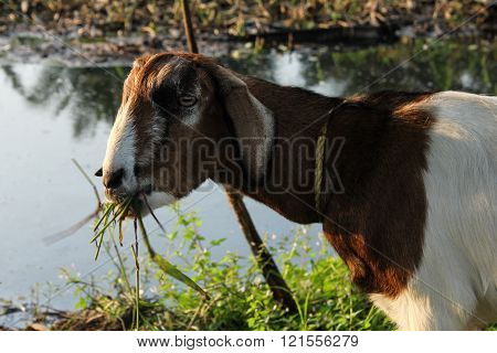 Goat eating grass at the river in India