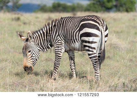 Mountain Zebra Grazing
