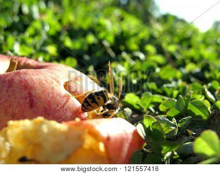 Wasp on Apple