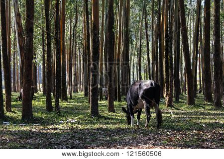 Cow eating grass at the forest during the day