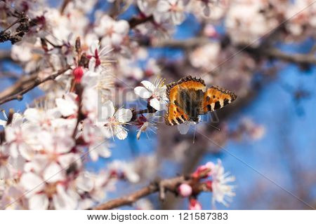 Butterfly closeup on a white apricot flowers