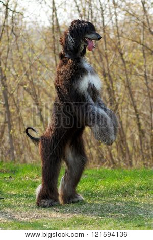 Dog Breed Afghan Hound