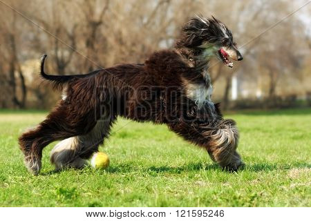 Afghan Hound Dog Running With The Ball