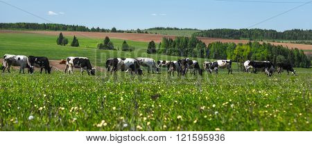 Cows grazing on a summer meadow in sunny day