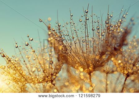 Dewy dandelion flower at sunrise close up