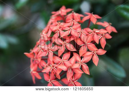 Beautiful Red Small Flowers Rubiaceae Ixora stricta.sensitive focus