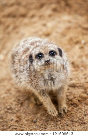 meerkat sits on sand and looks to the camera