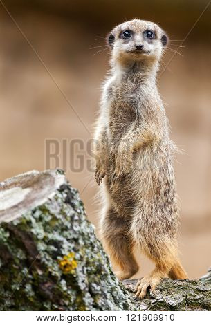 Meerkat Stands On Wood And Looks To The Camera