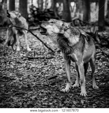two howling wolves in black and white