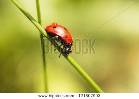 Ladybug Creeps On Herb