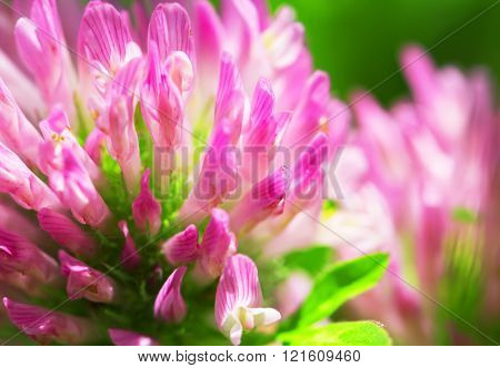 Red Clover Flower Macro
