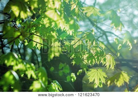 Young Maple Leaves In Sunlight